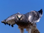 Ruffled, Northern Harrier, Cliquer pour agrandir